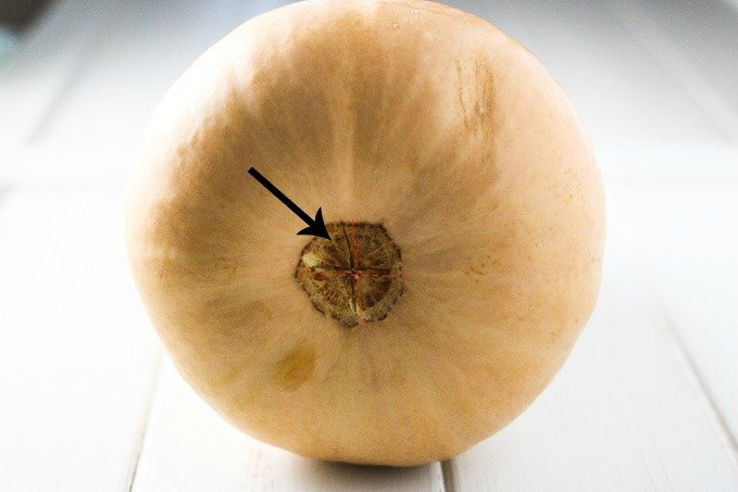 The bottom of a butternut squash with 2 small crosscuts in the middle.