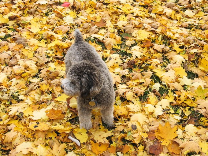 Toby standing on yellow leaves.