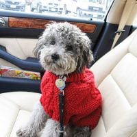 My dog Toby in a red sweater sitting in a car.